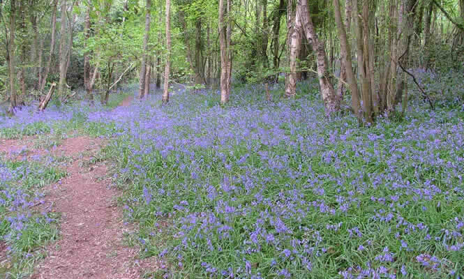 Bluebells at Churchwood Local Nature Reserve