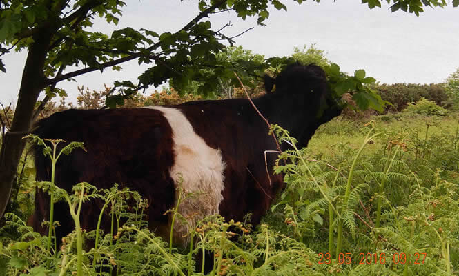 Belted Galloways at Hastings Country Park